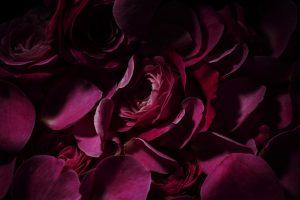 赤い薔薇が密集したイメージ写真