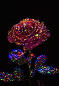 ブラックライト用のペンキで光る薔薇